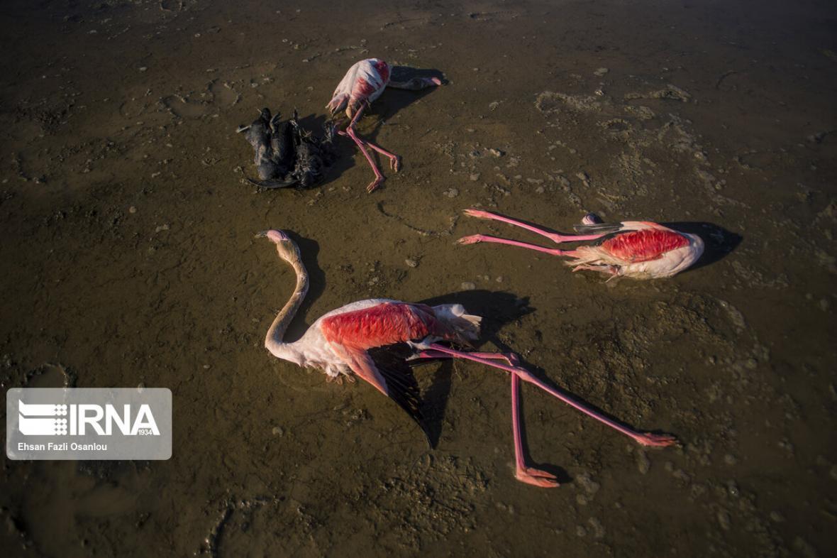 خبرنگاران دامپزشکی گلستان: بوتولیسم علت مرگ پرندگان در خلیج گرگان است